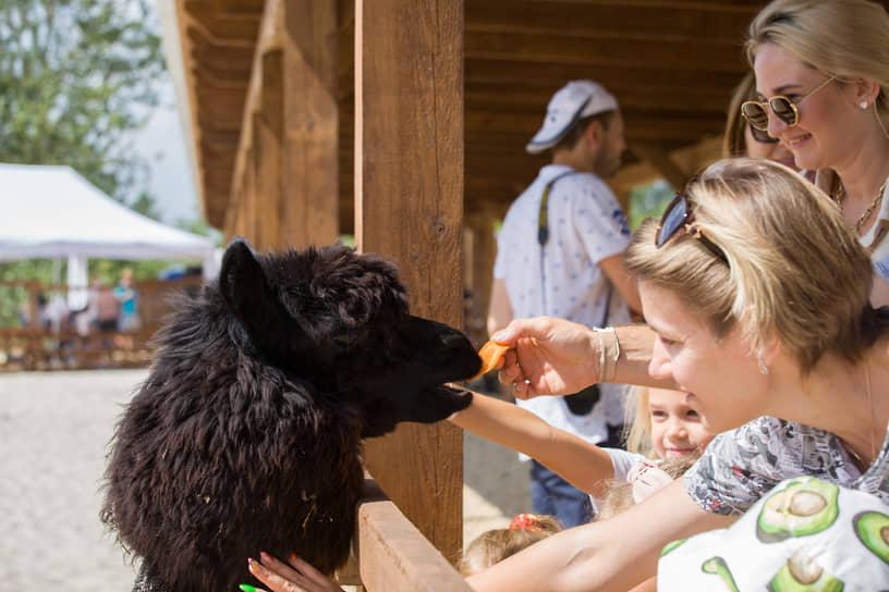 Альпака — домашнее мозоленогое животное, произошедшее от викуньи. Его разводят в высокогорном поясе Южной Америки (Анды).