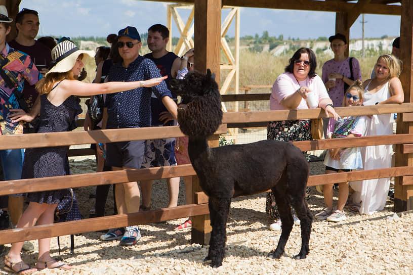 Сейчас воронежские альпака подстрижены по рекомендации ветеринара.