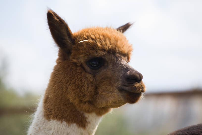 Стоимость одного животного — около 300 тыс. руб.