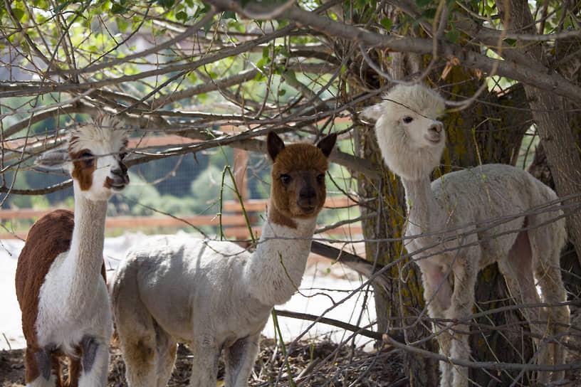 Выращивают альпак для стрижки шерсти, из которой делают теплые и мягкие одеяла, пледы и одежду, а из меха делают предметы для дома.