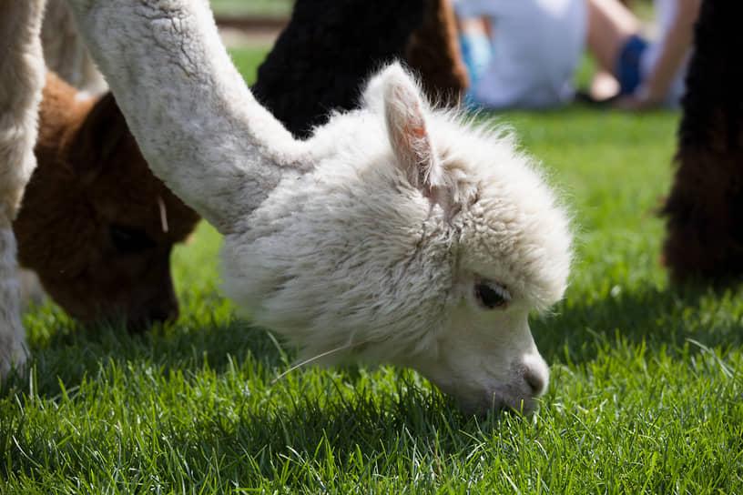 В Южной Америке обитает порядка 3 млн альпака, большая часть из них населяет Перу.