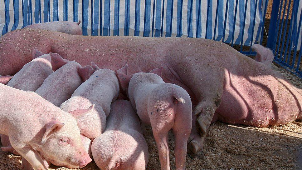 В 2013 году только в Белгородской?области планируется произвести 603,1 тыс. т свинины на убой