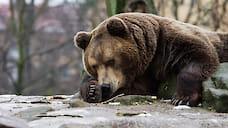 Медведя, напавшего на прохожего в Ярославле, застрелили