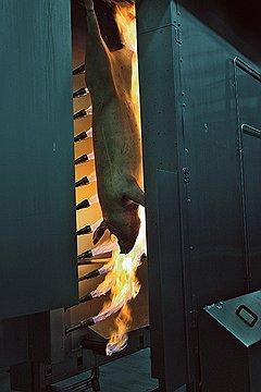 ОПАЛЕННЫЕ БЕЗ СОЛНЦА Большую часть операций в «Свинокомплексе Короча» выполняют роботы