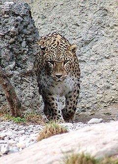 Благодаря Играм в Сочи будет восстановлена популяция переднеазиатского леопарда