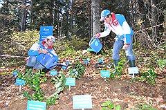 Пересадка краснокнижных растений из зоны олимпийского строительства