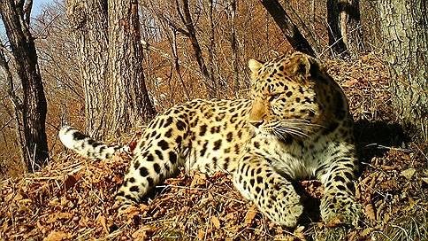 Леопарды без границ  / Защита