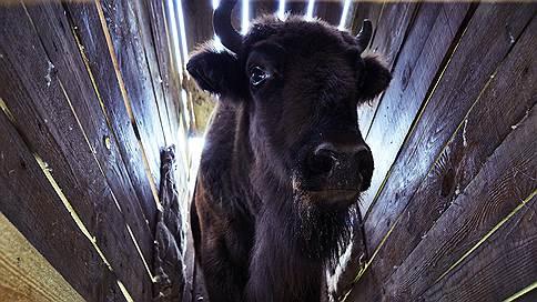 Потомки одного быка вернулись в Осетию  / События