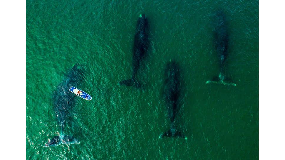 Гренландские киты в заливе Врангеля в окрестностях национального парка Шантарские острова