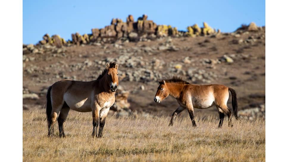 Лошади Пржевальского в монгольском национальном парке Хустайн Нуруу