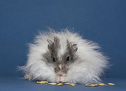 Hamster eats Oats grains by Ilona Baha - Стоковая фотография.