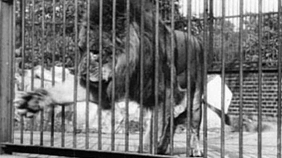 «Лев, Лондонский зоологический сад». Режиссер Александр Промио, 1896