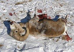 В гибели горных баранов могут оказаться виноваты сами бараны. Фото: Сайт altapress.ru. Загружается с сайта Ъ