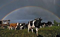 С появлением единого таможенного пространства российские коровы (на фото) выиграют у импортных примерно столько же, сколько российские куртки проиграют китайским