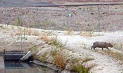 Обнаруженная в Калифорнии капибара вполне могла заменить кому-нибудь из склонных к гигантомании жителей штата обыкновенную морскую свинку