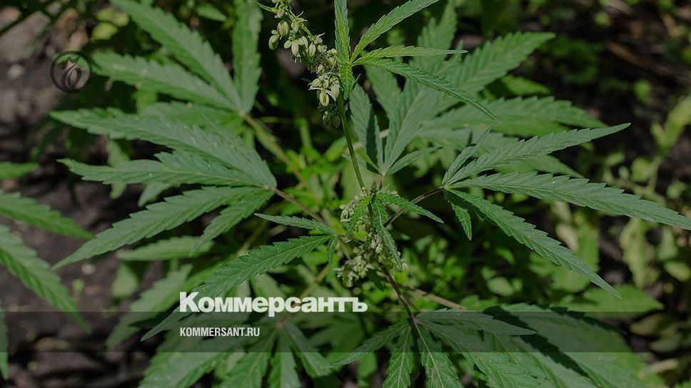Дикая конопля в челябинске кто выращивал коноплю отзывы