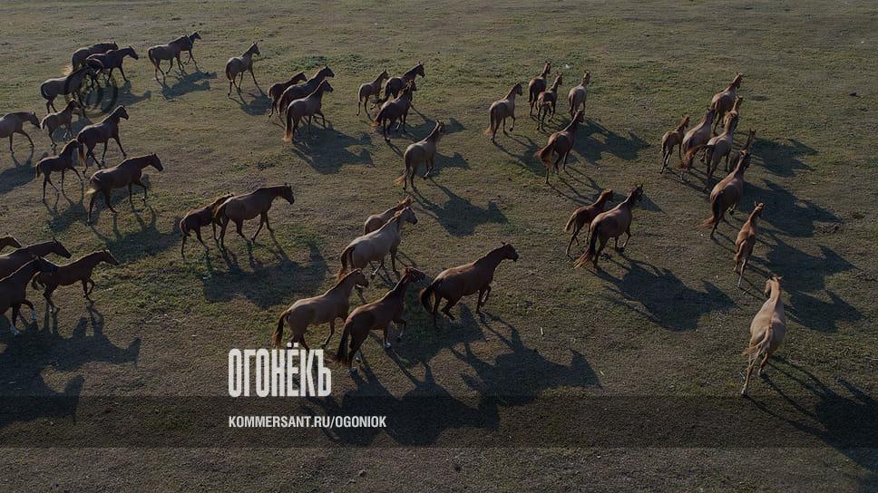 Донская порода лошадей: характеристика дончака (казачьего коня)