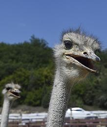 An ostrich farm has opened in Ternovka village. Aviaries and poultry enclosures were built there specifically for the exotic birds. The height of African ostriches is about 2.5 meters; its weight is more than 100 kilograms. Almost 1.5 million rubles subsidy for purchasing ostriches aged three years and ostriches up to six months has been provided to the farm.