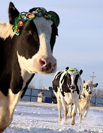 Rumyantsevskaya Livestock breeding farm. Milkmaids with cows. Winter crops in the fields.