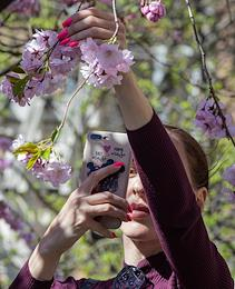 Cherry blossom in the Garden of Friendship on Liteiny Prospect. The garden was opened as a gift for the 300th anniversary of St. Petersburg from the twin city of Shanghai.
