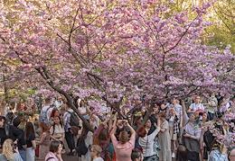 Sakura blossom. Friendship Garden St. Petersburg