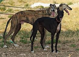 The first on the peninsula and the only cinema track (track) operating in Russia for racing - racing of hunting greyhounds - was opened in Crimea.
